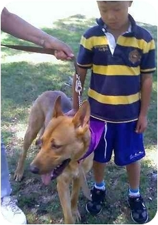 Shepherd (Unknown Type)/Pharaoh Hound Mix Dog for adoption in Los Alamitos, California - Oso