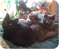 Domestic Shorthair Cat for adoption in Anchorage, Alaska - Jonas