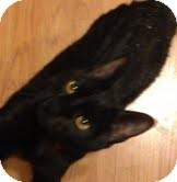 Domestic Shorthair Cat for adoption in Modesto, California - Blackjack