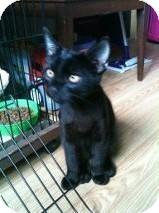 Domestic Mediumhair Kitten for adoption in sterling, Massachusetts - Jade