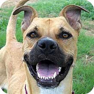 Boxer/Labrador Retriever Mix Dog for adoption in Phoenix, Arizona - Ivy