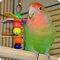 Adopt A Pet :: Emerald - Shawnee Mission, KS