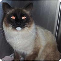 Adopt A Pet :: Shoshone - Phoenix, AZ