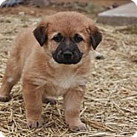 Adopt A Pet :: Venus - St Louis, MO