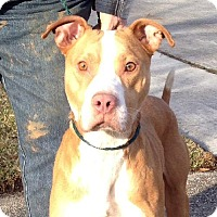 American Pit Bull Terrier Mix Dog for adoption in Slidell, Louisiana - Levi