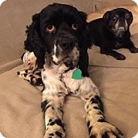 Adopt A Pet :: Gomez - Alpharetta, GA