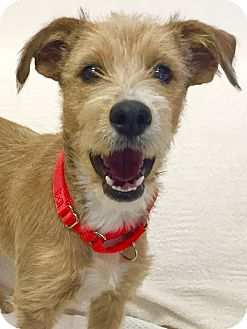 shetland terrier mission viejo ca terrier unknown type medium sheltie 8300
