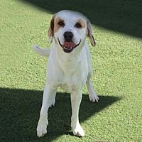 Beagle/Hound (Unknown Type) Mix Dog for adoption in San Diego, California - Jake