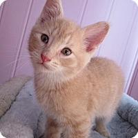 Adopt A Pet :: Reese's - Snuggler - Hillside, IL