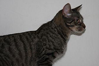 American Shorthair Kitten for adoption in Torrance, California - Corbin