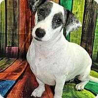 Dachshund/Terrier (Unknown Type, Medium) Mix Dog for adoption in Brighton, Tennessee - Panda (GAPR/TN Foster)