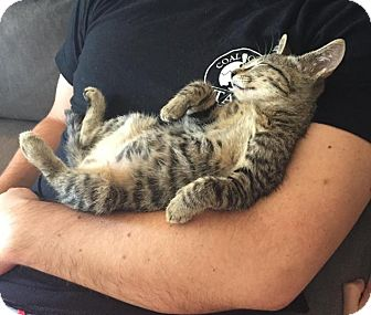 Domestic Shorthair Kitten for adoption in Winston-Salem, North Carolina - Alfie