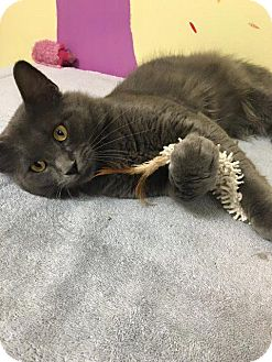Domestic Mediumhair Cat for adoption in Leonardtown, Maryland - Orion