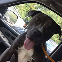 American Staffordshire Terrier/American Pit Bull Terrier Mix Dog for adoption in Garner, North Carolina - Chester