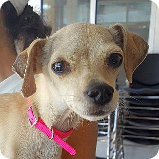 Italian Greyhound Mix Dog for adoption in Berkeley, California - Sam