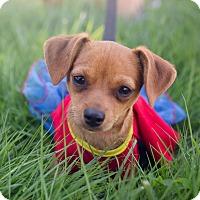 Chihuahua/Chihuahua Mix Puppy for adoption in Oakley, California - Joy
