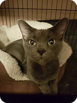 Domestic Shorthair Cat for adoption in Hamilton, Ontario - Char