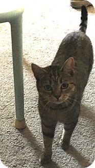 Bengal Cat for adoption in Santa Monica, California - Hadassah