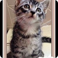 Domestic Shorthair Kitten for adoption in Tombstone, Arizona - Gleason
