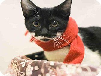 Domestic Mediumhair Kitten for adoption in Waynesville, North Carolina - MADDOX