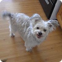 Maltese/Yorkie, Yorkshire Terrier Mix Dog for adoption in Quail Valley, California - Stuart
