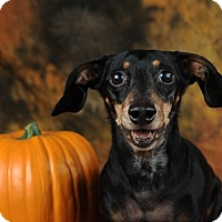 Dachshund Dog for adoption in Las Vegas, Nevada - Ryder