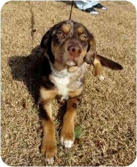 ... Dog | Jacksonville, NC | Catahoula Leopard Dog/Labrador Retriever Mix