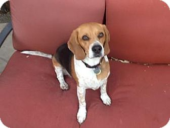 Beagle Mix Dog for adoption in Phoenix, Arizona - Kramer