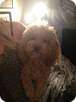 Poodle (Toy or Tea Cup) Dog for adoption in Northumberland, Ontario - Levi