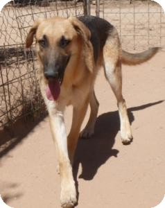 German Shepherd Dog Mix Dog for adoption in Las Cruces, New Mexico - Koda