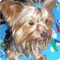 Adopt A Pet :: Peyton - Pembroke Pines, FL