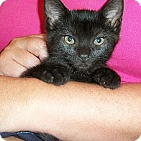 Adopt A Pet :: Oreo - Reston, VA