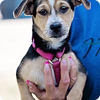 Adopt A Pet :: Archie - Sherman Oaks, CA