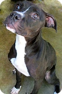 Pit Bull Terrier/Boston Terrier Mix Dog for adoption in Tahlequah, Oklahoma - Oprah