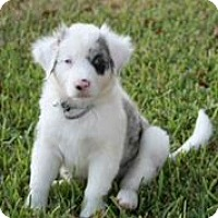 Adopt A Pet :: Shiner - Austin, TX