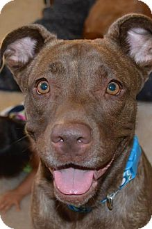 Labrador Retriever/Shar Pei Mix Dog for adoption in Arlington, Washington - Cocoa nala, a Young lab mix