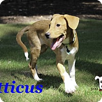 Adopt A Pet :: Atticus - Alpharetta, GA