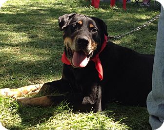 Rottweiler/Labrador Retriever Mix Dog for adoption in Palatine, Illinois - Duncan