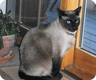 Siamese Cat for adoption in New York, New York - Checkmate