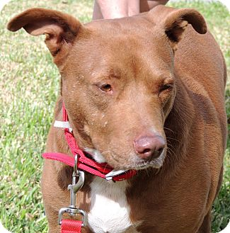 Labrador Retriever/Pit Bull Terrier Mix Dog for adoption in Humble, Texas - Lady