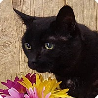 Domestic Shorthair Cat for adoption in Monroe, Michigan - Laverne - Foster-to-adopt