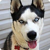 Siberian Husky Dog for adoption in Washington, D.C. - Drago