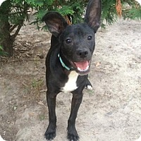 Rat Terrier Mix Puppy for adoption in Slidell, Louisiana - Oreo