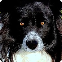 Adopt A Pet :: DOC(GORGEOUS PB BORDER COLLIE! - Wakefield, RI