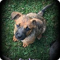 Adopt A Pet :: Saubrey - Denver, NC