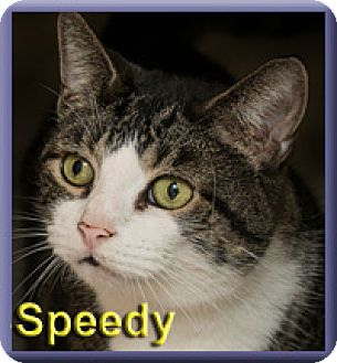 Domestic Shorthair Cat for adoption in Aldie, Virginia - Speedy