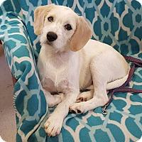Adopt A Pet :: Waffles - Albany, NY