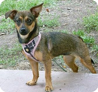 Chihuahua/Dachshund Mix Dog for adoption in Half Moon Bay, California - Bonnie