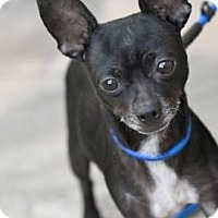Adopt A Pet :: Vader - Huntington Beach, CA