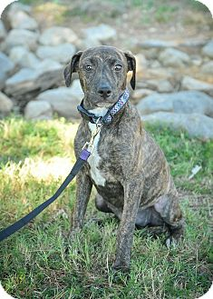 Labrador Retriever Mix Puppy for adoption in Colmar, Pennsylvania - Justice